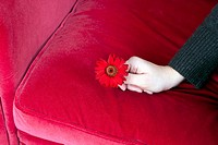 A hand holding a dark pink Gerbera Daisy on a dark pink sofa