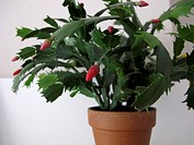 Christmas cactus plant Schlumbergera