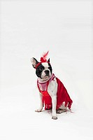 A French Bulldog wearing a red flapper costume (thumbnail)