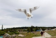 A white sea bird in flight, Lake Te Anau, New Zealand