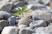 An uncultivated plant growing amongst a heap of rocks, close_up