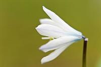 Puschkinie Puschkinia scilloides _ Cone flower Puschkinia scilloides