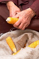 Old hands with corn