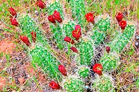 Red Cacti Blooms