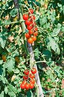 cherry tomato crop