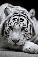 White tigress