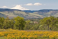 USA, Oregon, Dry Creek Road South of Mosier, Meadow with wildflowers with Mount Adams in background