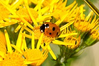 Ladybird on ragwort.