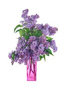 Bouquet of lilac in a vase isolated on a white background