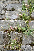 Erigeron, naturalised on old stone work, Norfolk, England, July