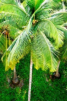 Top angle view of coconut tree