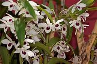Orquidia Flower