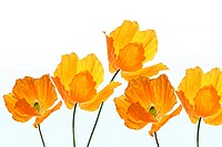 Bright, orange poppies on white background