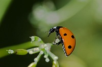 Coccinella septempunctata, the seven-spot ladybird or, in North America, seven-spotted ladybug or ´C-7´, Crete