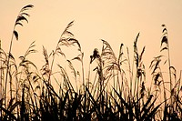 Reeds silhouetted against sky at sunrise, England, UK