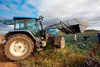 Broccoli growing fields, Agricultural fields, High Ribera, Arga-Aragon Ribera, Navarre, Spain.