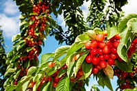 Cherries, Cherry tree, Agricultural fields, High Ribera, Arga-Aragon Ribera, Milagro, Navarre, Spain.