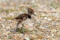Northern Lapwing, Peewit or Green Plover (Vanellus vanellus), chick standing on the beach, Apetlon, Lake Neusiedl, Burgenland, Austria, Europe
