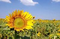 Sunflower Helianthus annuus, sunflower field, Odessa, Ukraine, Eastern Europe