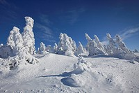 Frozen snow covered spruce trees in winter at Brocken, Blocksberg in the Harz National Park, Germany