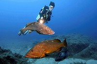 Diver and Dusky Groupers, Lavezzi islands, France / Epinephelus marginatus