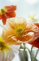 Papaver croceum, Papaver nudicale, Poppy, Icelandic poppy
