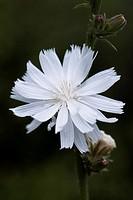 Cichorium intybus f. album, Chicory