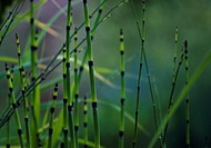 Equisetum fluviatile, Horsetail, Water horsetail