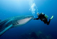 Diver and Whale Shark, Phuket, Similan islands, Andaman sea, Thailand / Rhincodon typus