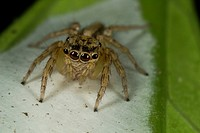 Jumping spider guiding its eggs. Image taken at Kampung Skdup, Sarawak, Malaysia