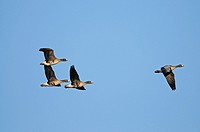 Four white-fronted geese in flight at lower River Rhein, Germany