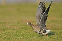 white-fronted goose taking off from a meadow at lower River Rhein, Germany
