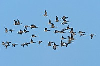 Barnacle geese in flight. Texel Island, The Netherlands