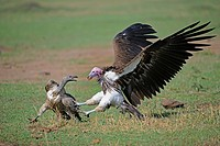 Lappet-faced vulture chasing a white-backed vulture. Serengeti National Park, Tanzania