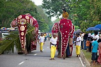 Captive Asiatic elephants Elephas maximus maximus preparing for the Navam Maha Perahera, Victoria Park, Colombo, Sri Lanka, Asia
