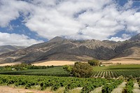 Wine producing estate, the Wine Route, Little Karoo, Eastern Cape, South Africa, Africa