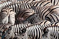 Burchell´s zebra Equus burchellii, Etosha National Park, Namibia. Africa