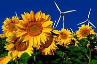 Windkrafträder hinter einem Sonnenblumenfeld