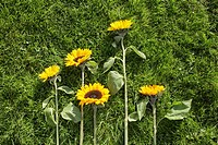 Sunflowers in different sizes