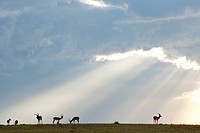 Light over antelopes