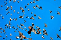 many flying pigeons