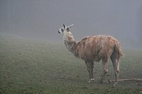 Lama im Nebel