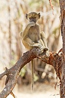 A young yellow baboon, Papio cynocephalus, sits on a branch.