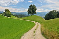 Lime Tree with Field Path through Meadow in Summer, Switzerland, Europe