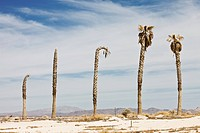 Row of dead palm trees in hot, desert landscape