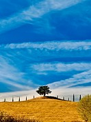 Lonely tree in Tuscan field with a blue sky background