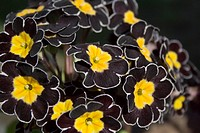 Detail of black Primrose