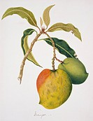 Mango fruits growing on a mango tree Mangifera indica. This watercolour is plate 43 from one of a set of three volumes by the Indian_born British arti...