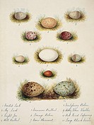 Bird eggs from India. The eggs are from the crested lark, sky lark, nightjar, hill bulbul, common bulbul, orange robin, crow pheasant, Neilgherry robi...