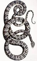 Snakes, 18th century artwork. Plate 102 from Albertus Seba´s ´Thesaurus´ ´Locupletissimi rerum naturalium thesauri accurata descriptio´, published bet...